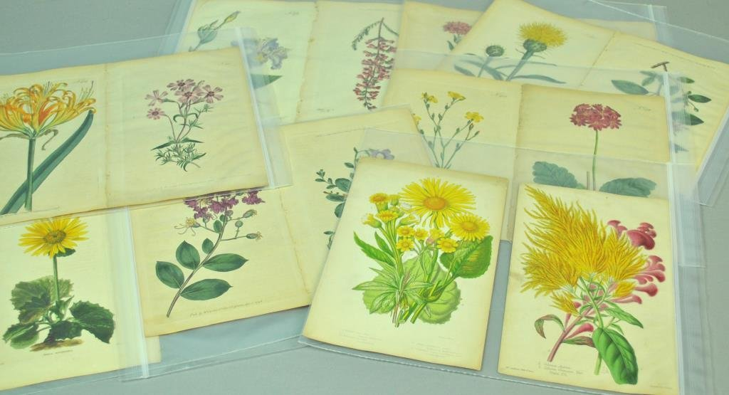 (24) BOTANICAL PLATES, MOST BY WILLIAM CURTIS - 2