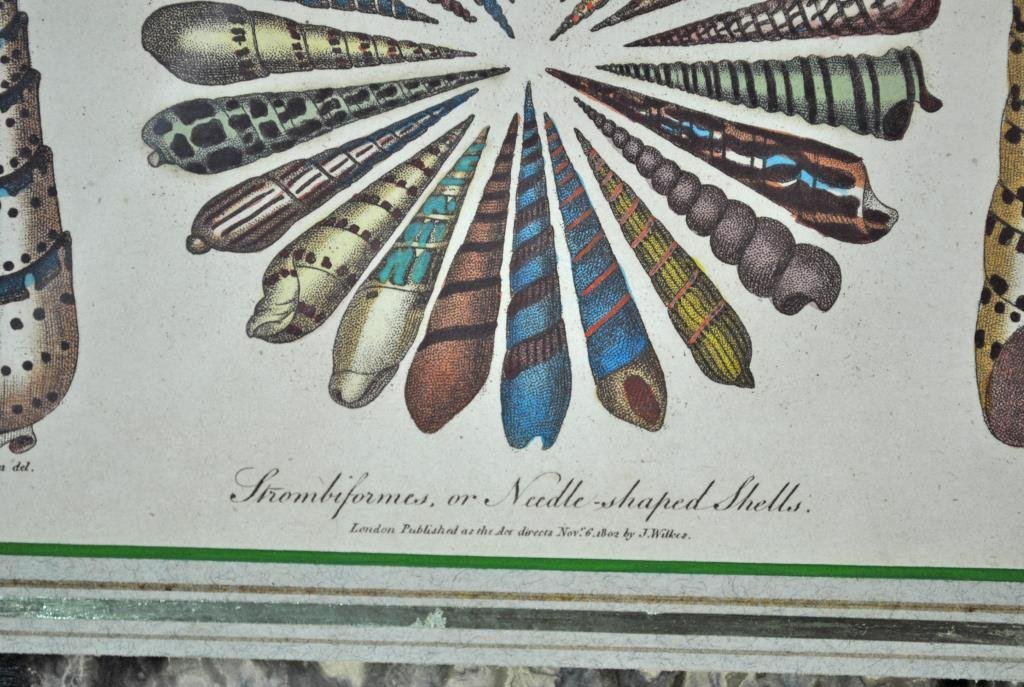 (2) CONCHOLOGY HAND COLORED ENGRAVINGS - 3