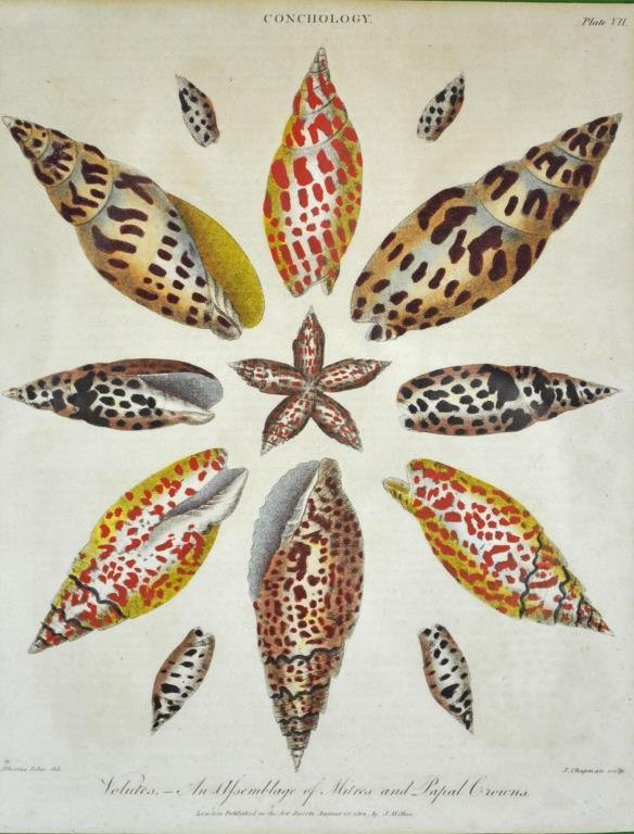 (2) CONCHOLOGY HAND COLORED ENGRAVINGS - 4