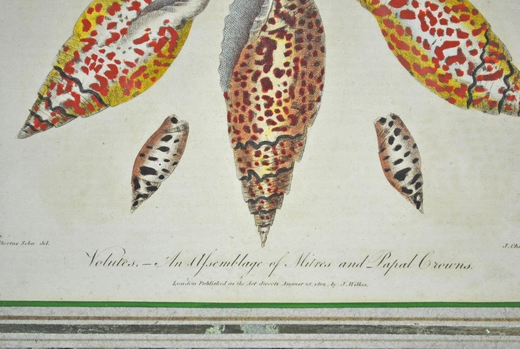 (2) CONCHOLOGY HAND COLORED ENGRAVINGS - 5