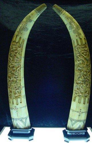 """17: 40"""" Antique Pair of Cow Bone Dragon Tusks"""