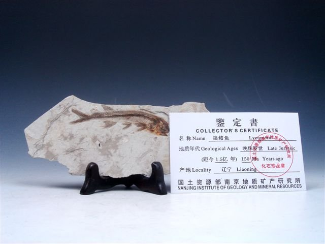 3: Late Jurassic Lycoptera Ancient Fish Fossil w/ Cert