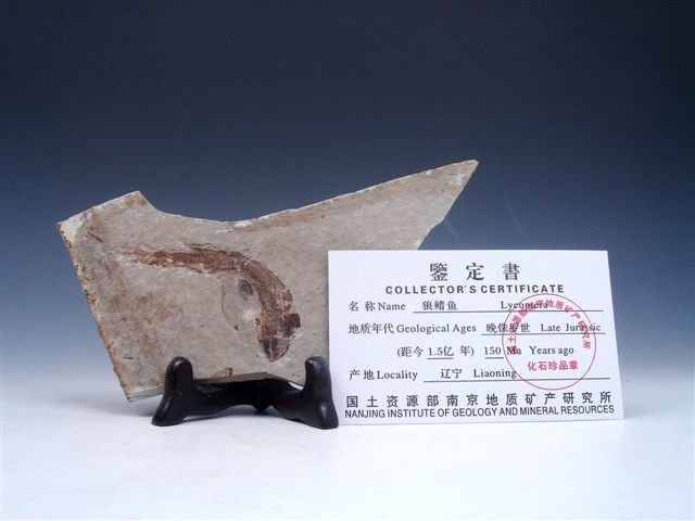 11: Late Jurassic Lycoptera Ancient Fish Fossil w/ Cert