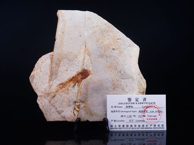 LATE JURASSIC LYCOPTERA ANCIENT FISH & CERTIFICATE