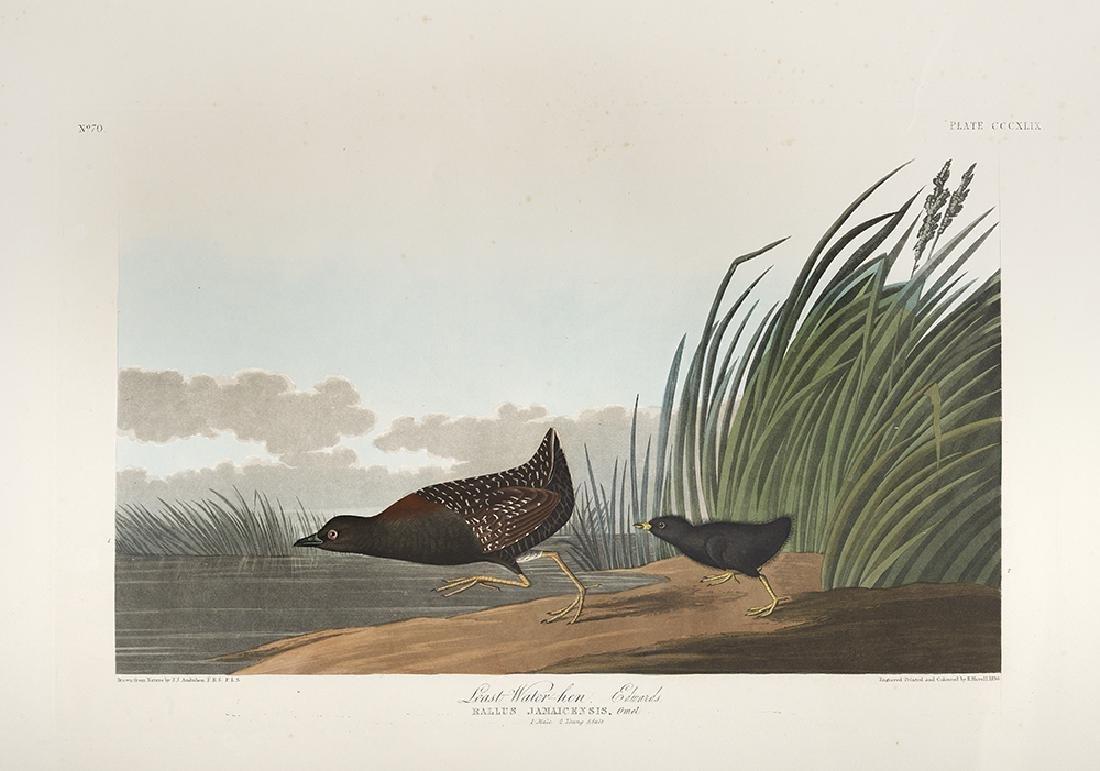 "After John James Audubon, (American, 1785-1851), ""Least"