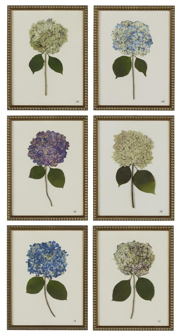 Six Dried and Pressed Hydrangea Botanicals