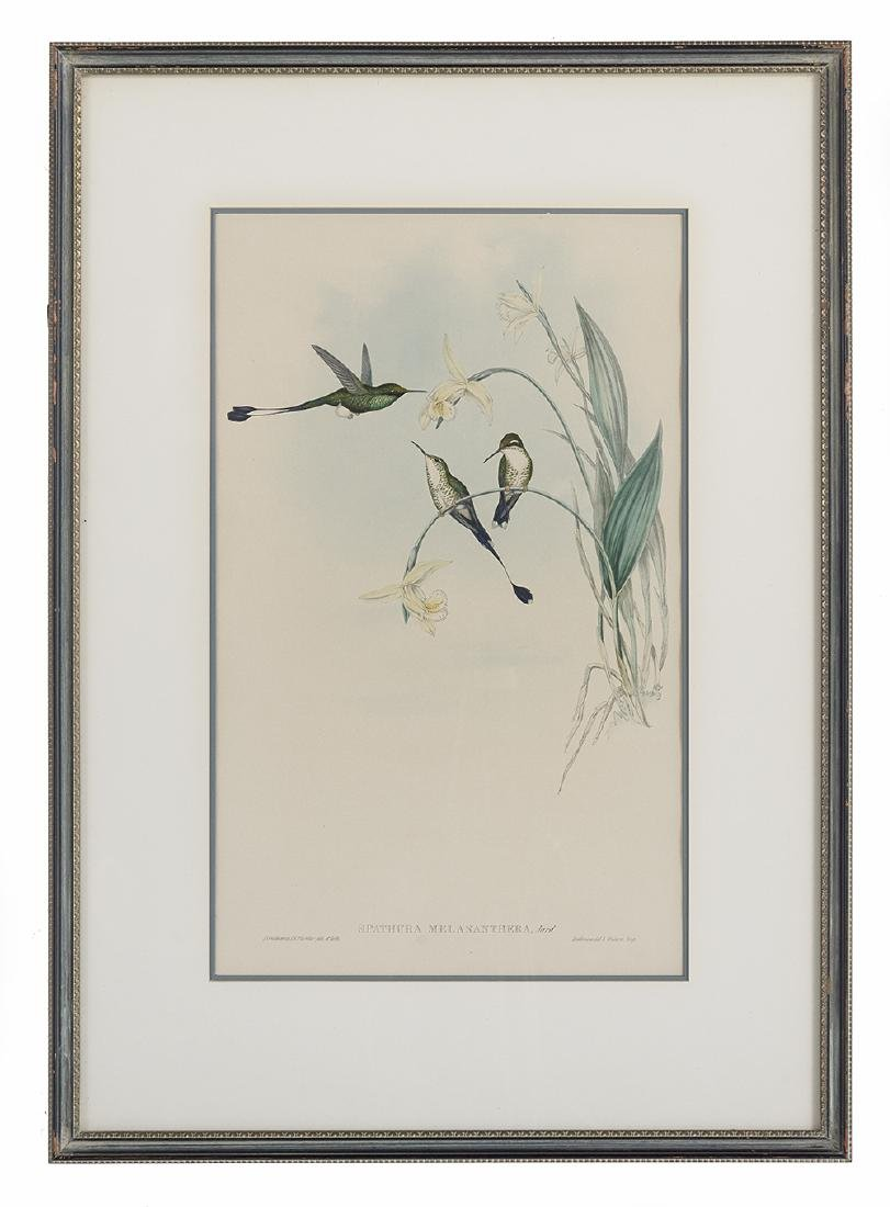Gould & Richter Ornithological Lithographs - 3