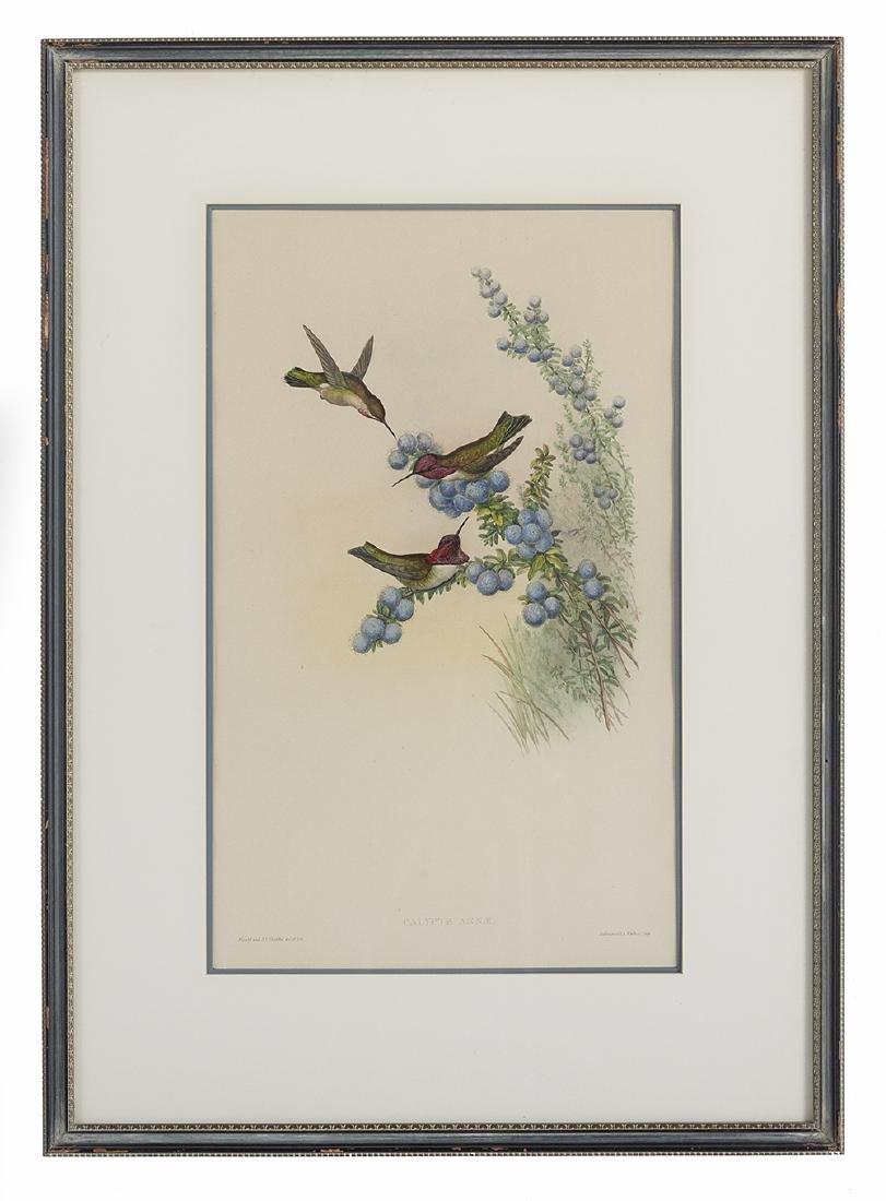 Gould & Richter Ornithological Lithographs - 4