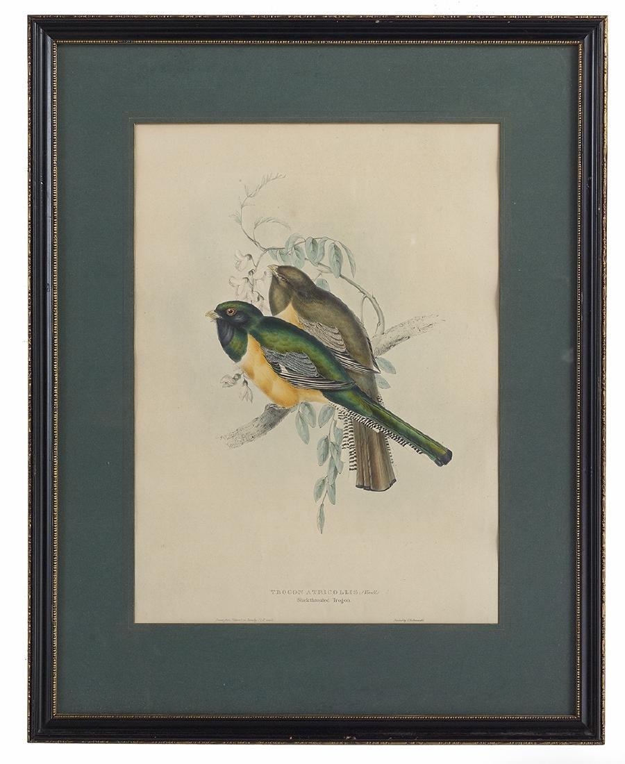 Gould & Richter Ornithological Lithographs