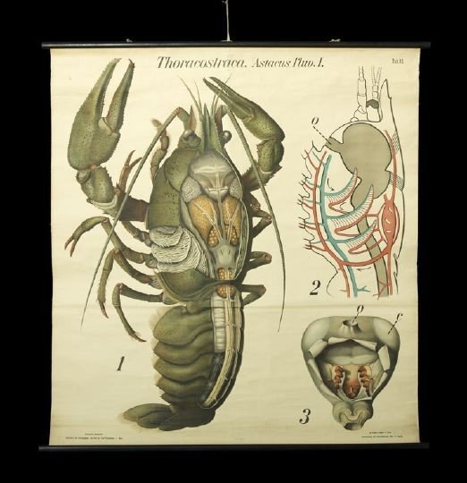 12: Lithograph Classroom Scroll of a Lobster