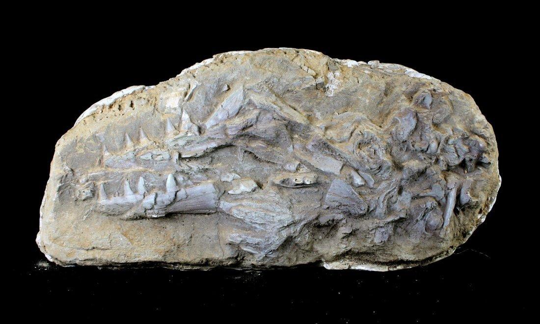 """FANTASTIC 29"""" Mosasaur Skull"""