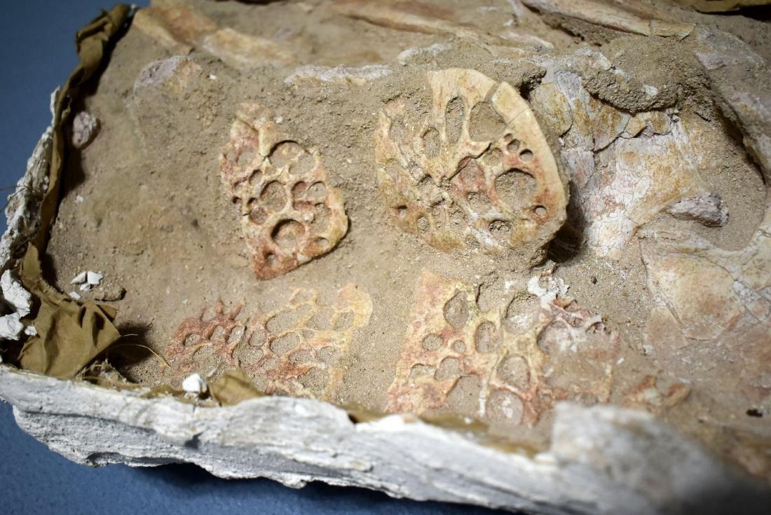 MASSIVE Sarchosuchus Fossil - 2
