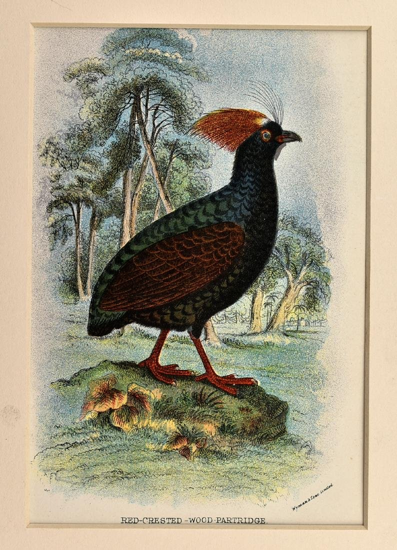 6 1890's Chromolithographs of Birds - 4