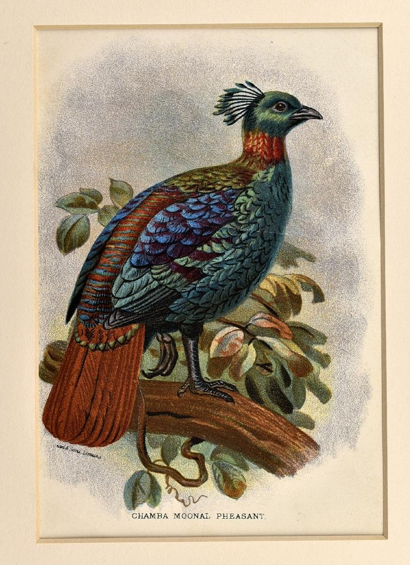 6 1890's Chromolithographs of Birds - 5