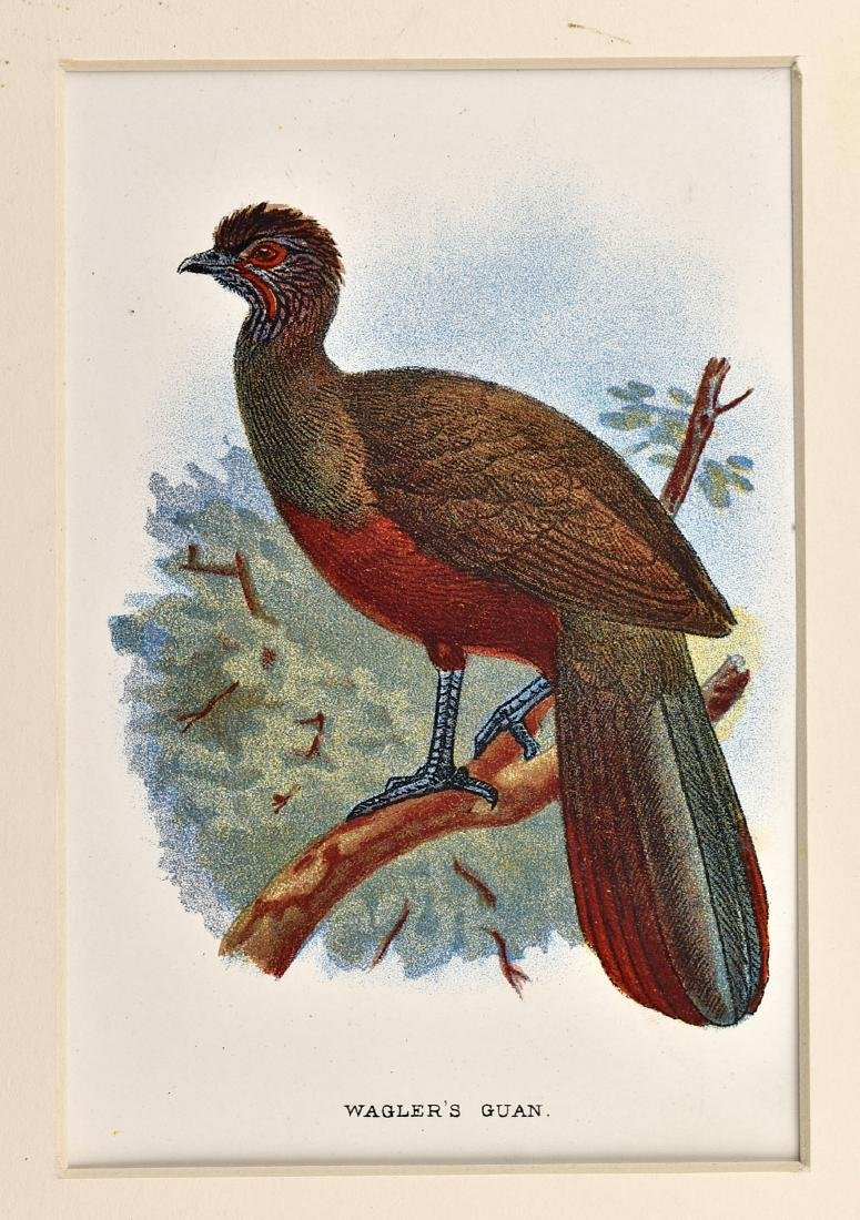 6 1890's Chromolithographs of Birds - 7
