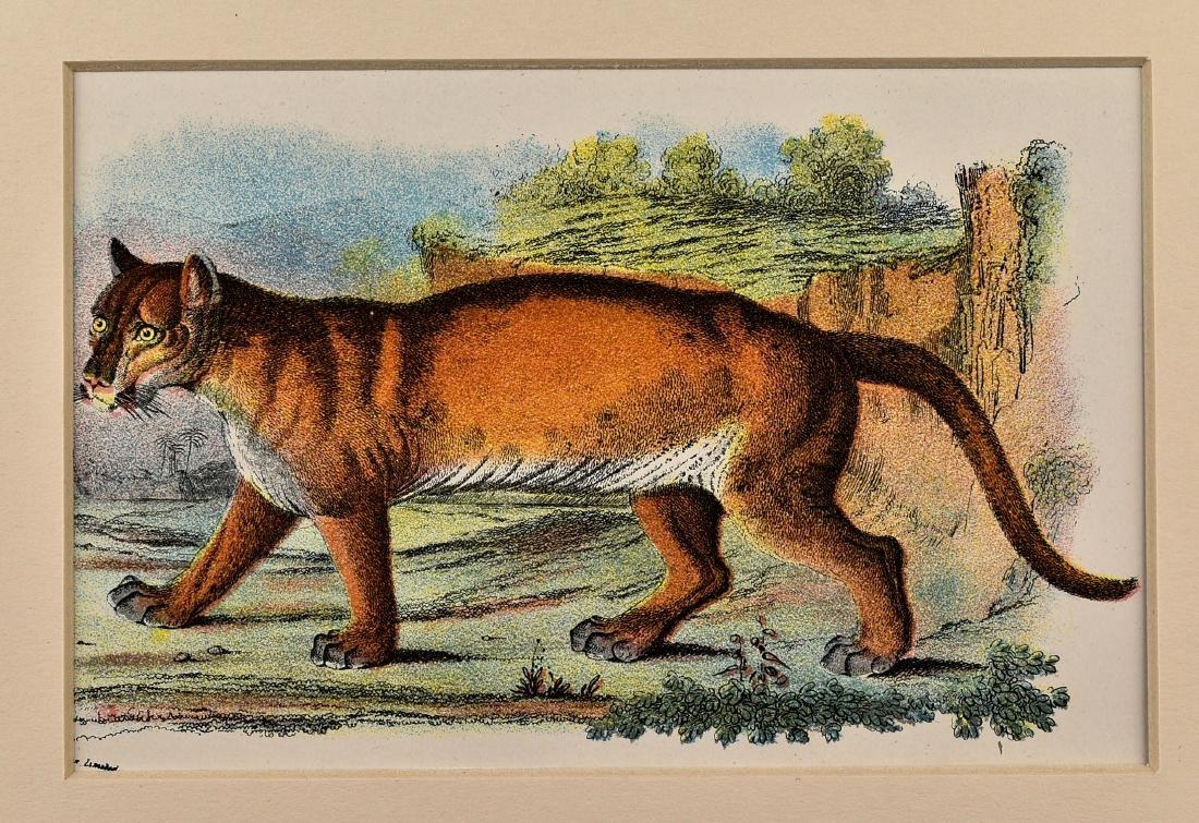 Pair of 1890's Big Cat Chromolithograph - 3