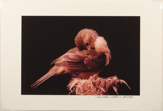 Immature Painted Bunting Bird Giclee PRINT By Dubois