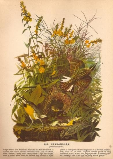 John James Audubon Circa 1946 ~ Meadowlark