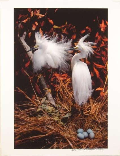 Dubois Snowy Egret Nest Giclee SN LE Bird PHOTO PRINT