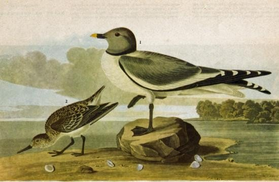 ~ SABINES GULL ~ The Birds of America - John James Audu