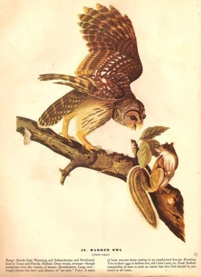John James Audubon Circa 1946 ~ Barred Owl