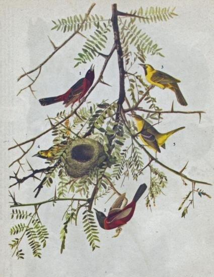 ORCHARD ORIOLE MATTED PRINT John James Audubon Circa 19