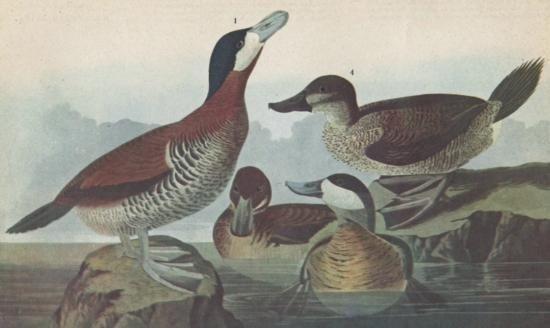 RUDDY DUCK MATTED PRINT John James Audubon Circa 1946