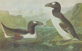 GREAK AUK MATTED PRINT John James Audubon Circa 1946