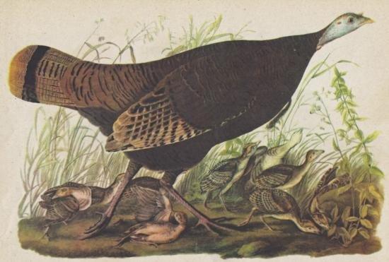 John James Audubon Circa 1946 WILD TURKEY MATTED PRINT
