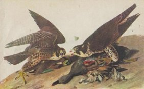 John James Audubon Circa 1946 DUCK HAWK MATTED PRINT T