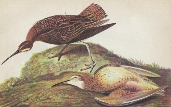John James Audubon Circa 1946 ESKIMO CURLEW MATTED PRI