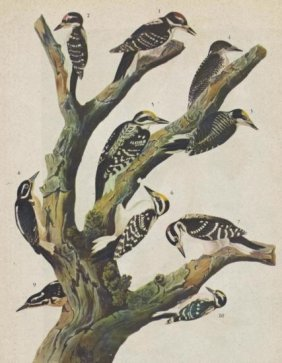John James Audubon Circa 1946 HAIRY WOODPECKER MATTED