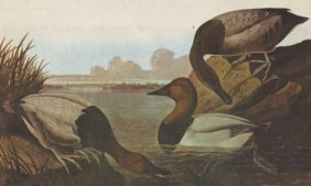 John James Audubon Circa 1946 CANVASBACK MATTED PRINT
