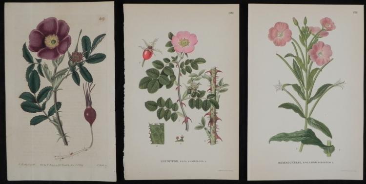 3 Antique Botanical Prints Pink & Purple Flowers 1819-