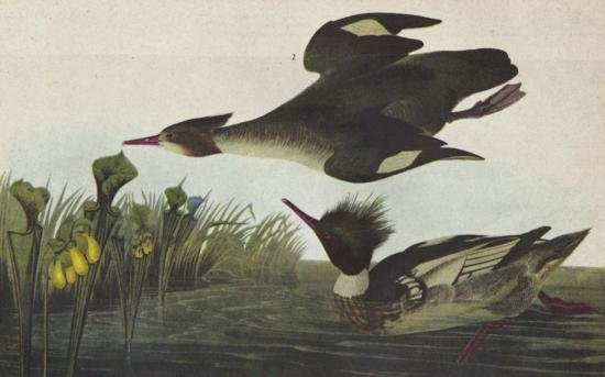 John James Audubon Circa 1946 RED-BREASTED MERGANSER M