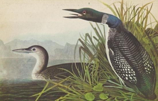 John James Audubon Circa 1946 COMMON LOON MATTED PRINT