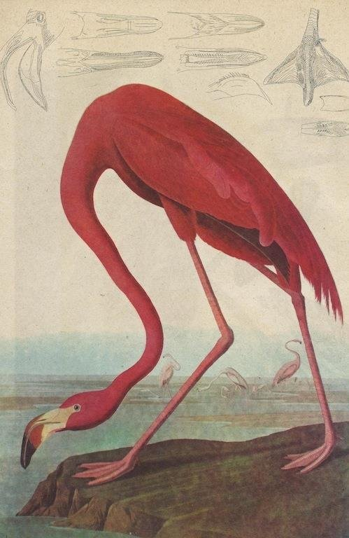 John James Audubon Circa 1946 FLAMINGO