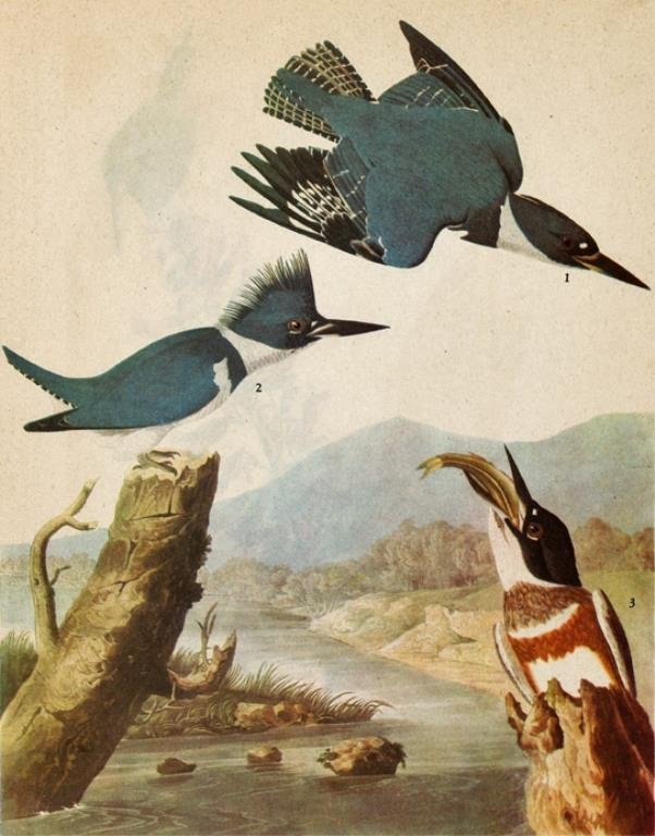 Belted Kingfisher John James Audubon Print