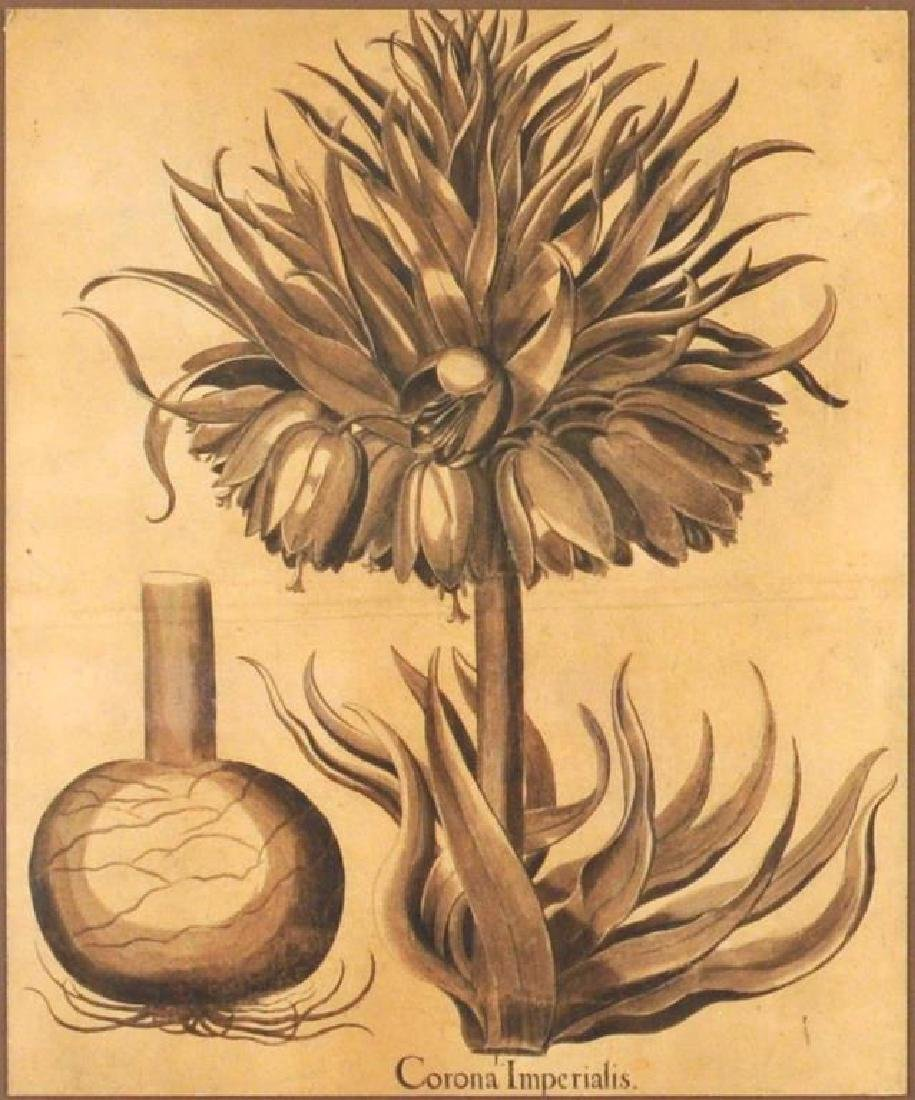"Framed Botanical Engraving, ""Corona Imperialus"" - 3"