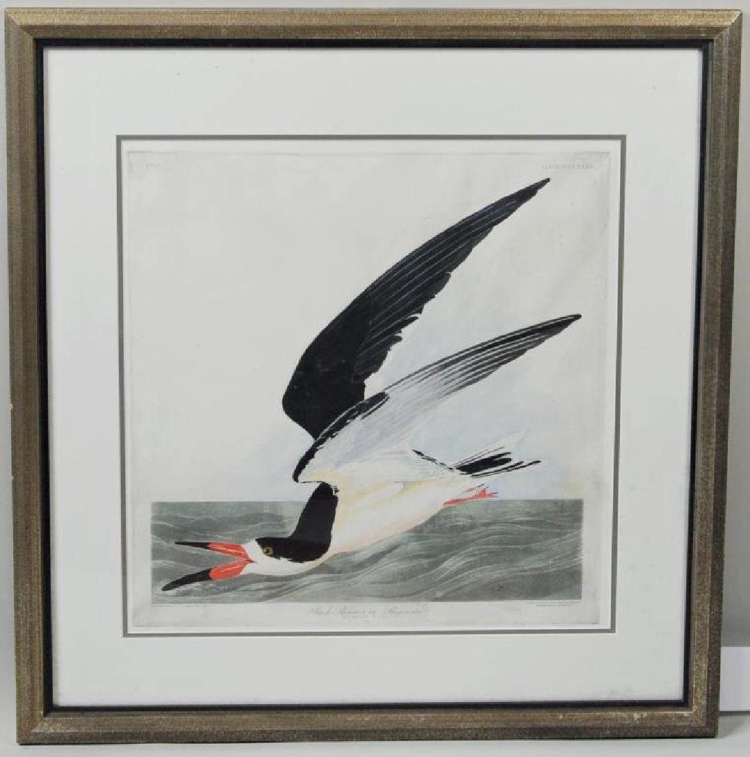 "After Audubon ""Black Skimmer"" Engraving"