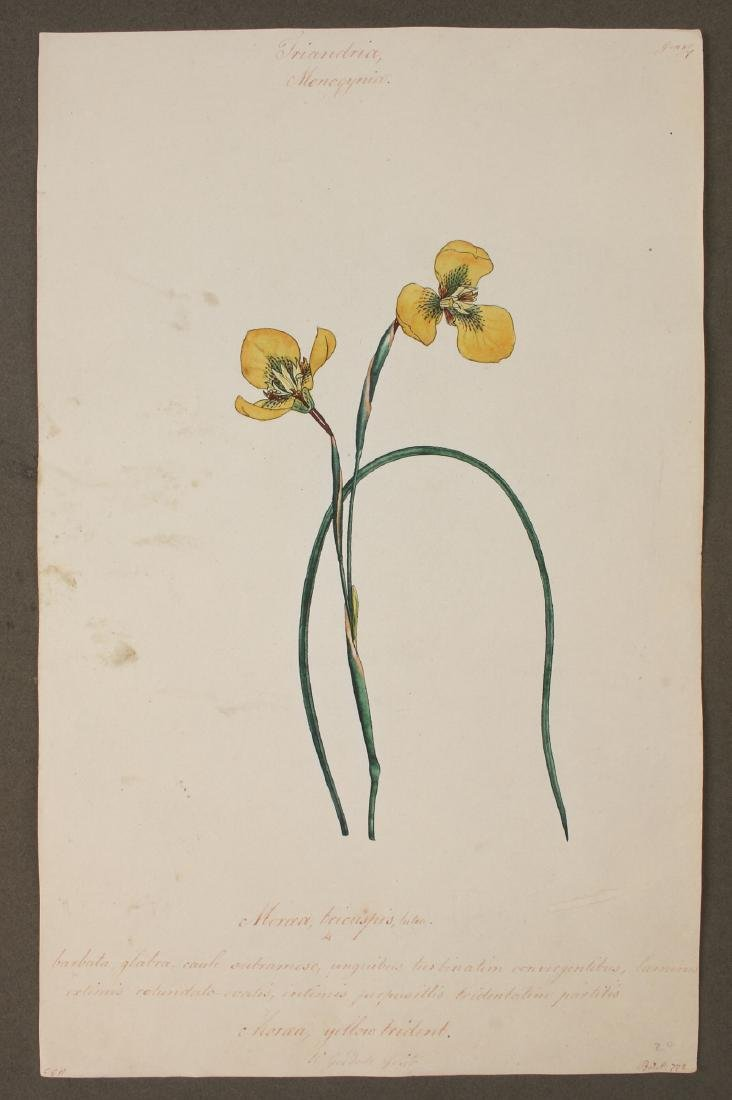 W. GOODALL HAND-COLORED BOTANICAL ENGRAVING