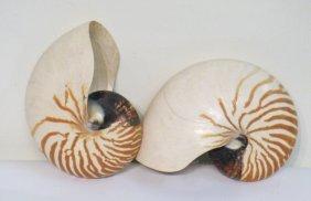 Two Nautilus Shells