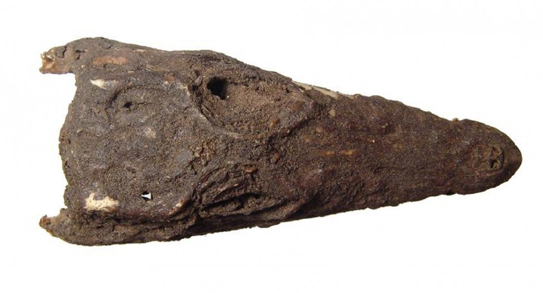 Fascinating Egyptian mummified head of young crocodile - 3