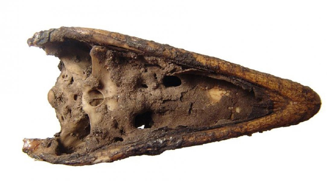 Fascinating Egyptian mummified head of young crocodile - 5