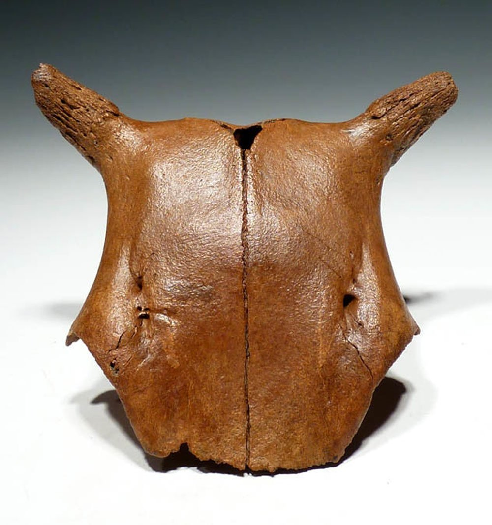 Young Aurochs skull with original horn cores