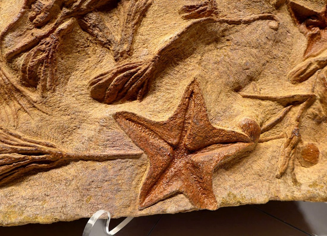 Large Prehistoric starfish and sea lily crinoid fossil - 2