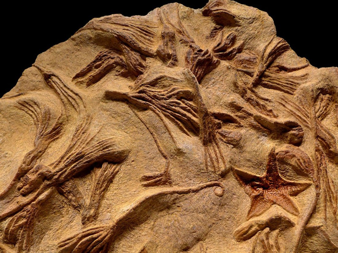 Large Prehistoric starfish and sea lily crinoid fossil - 4