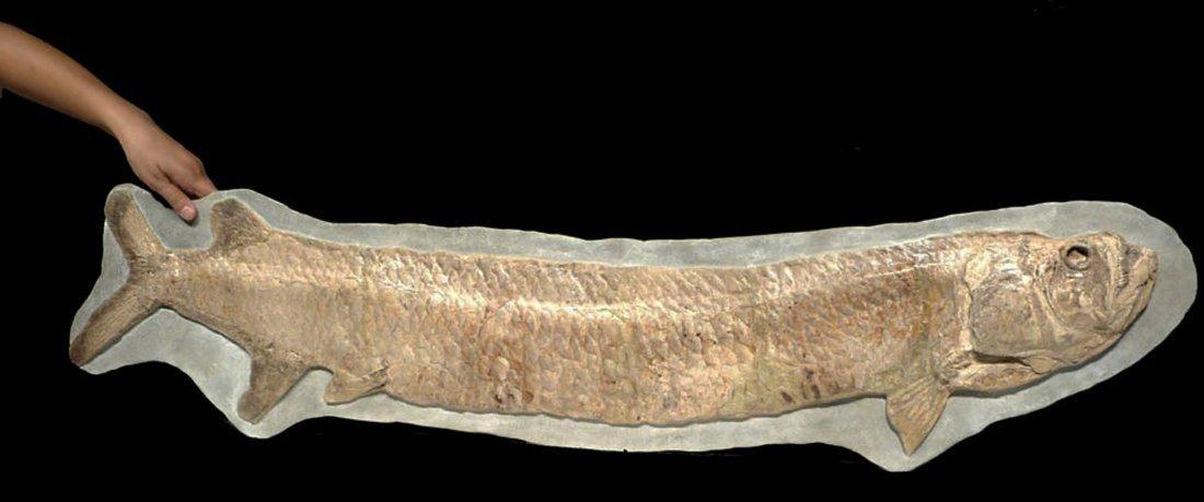 Giant Prehistoric Tarpon-like Cladocyclus fish fossil