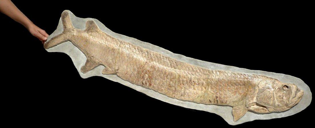 Giant Prehistoric Tarpon-like Cladocyclus fish fossil - 2
