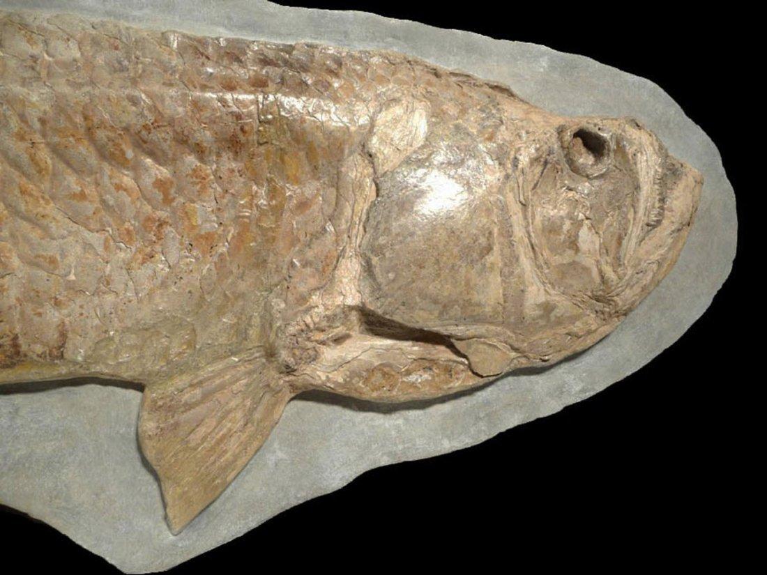 Giant Prehistoric Tarpon-like Cladocyclus fish fossil - 3